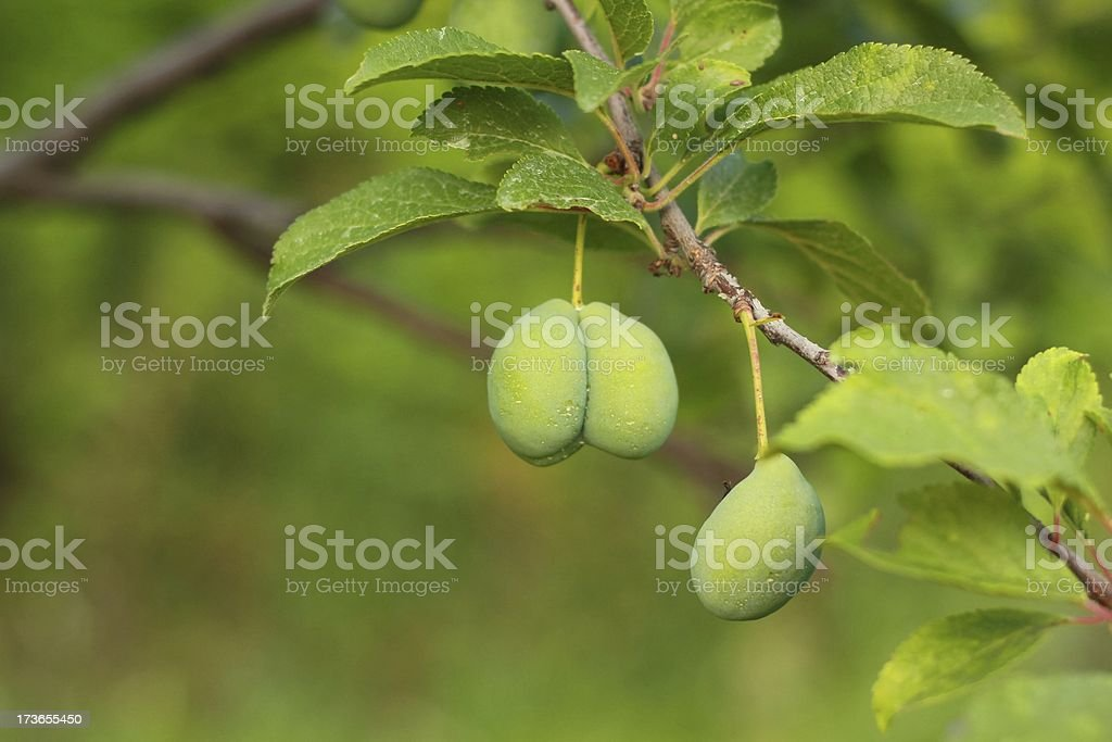 Green plums royalty-free stock photo