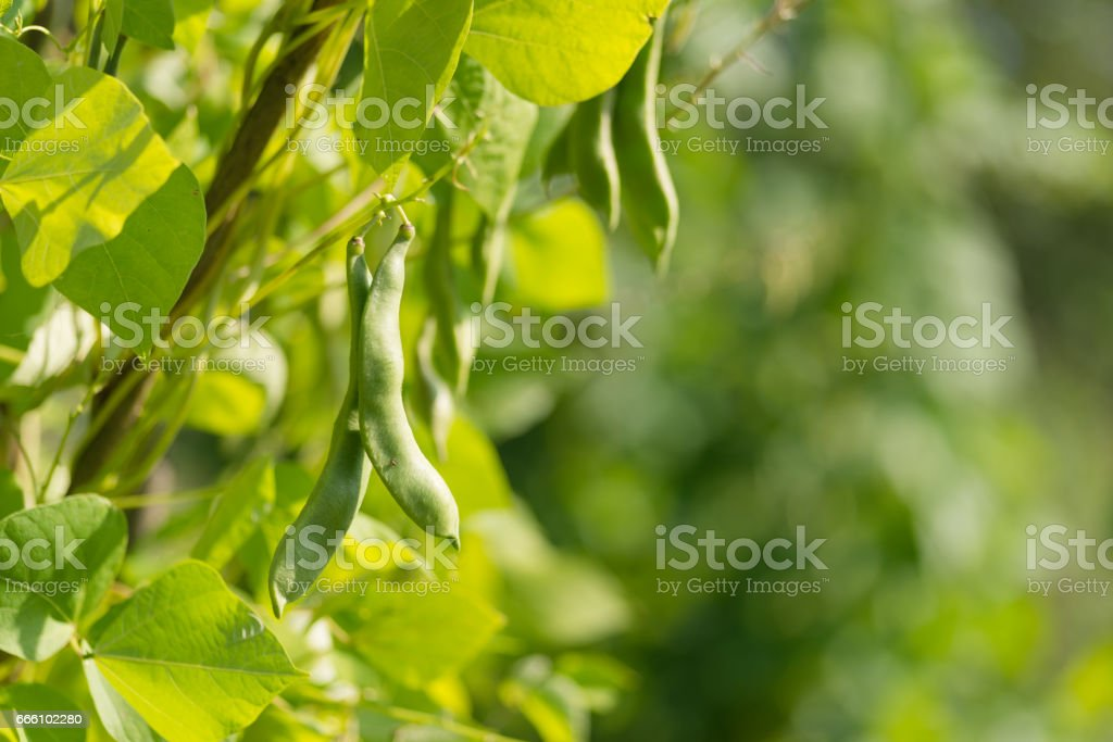 Green pods of kidney bean in the garden stock photo