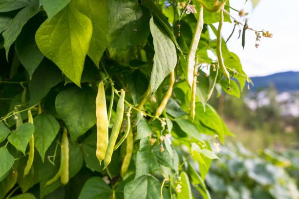 Green pods of kidney bean in the garden stock photo