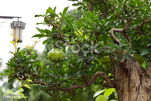 close up of unique pomegranate bonsai tree.green natural background. Beijing