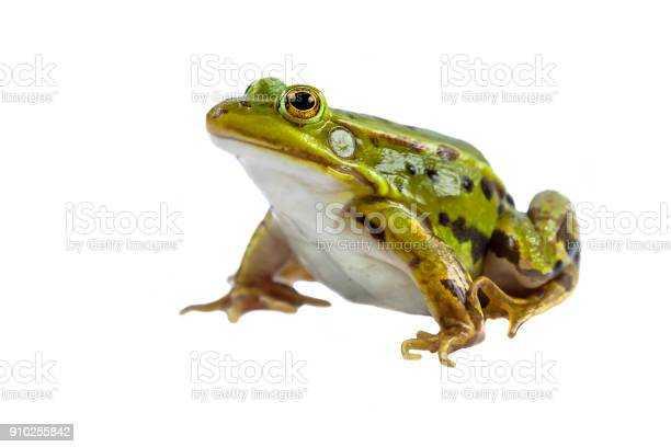 Photo of Green Pool frog male on white
