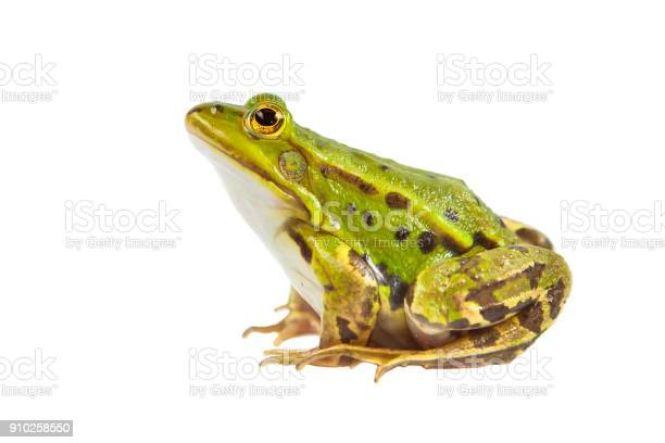 Photo of Green Pool frog male