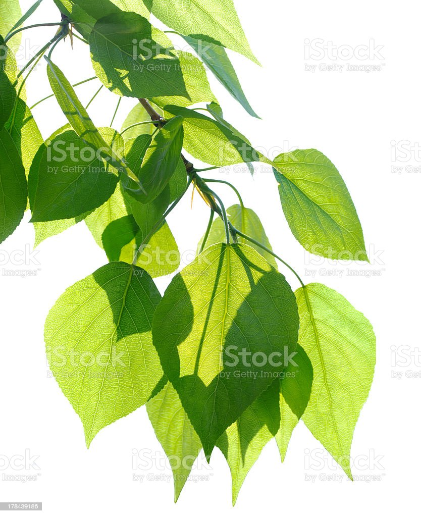 Green poplar leaves isolated stock photo