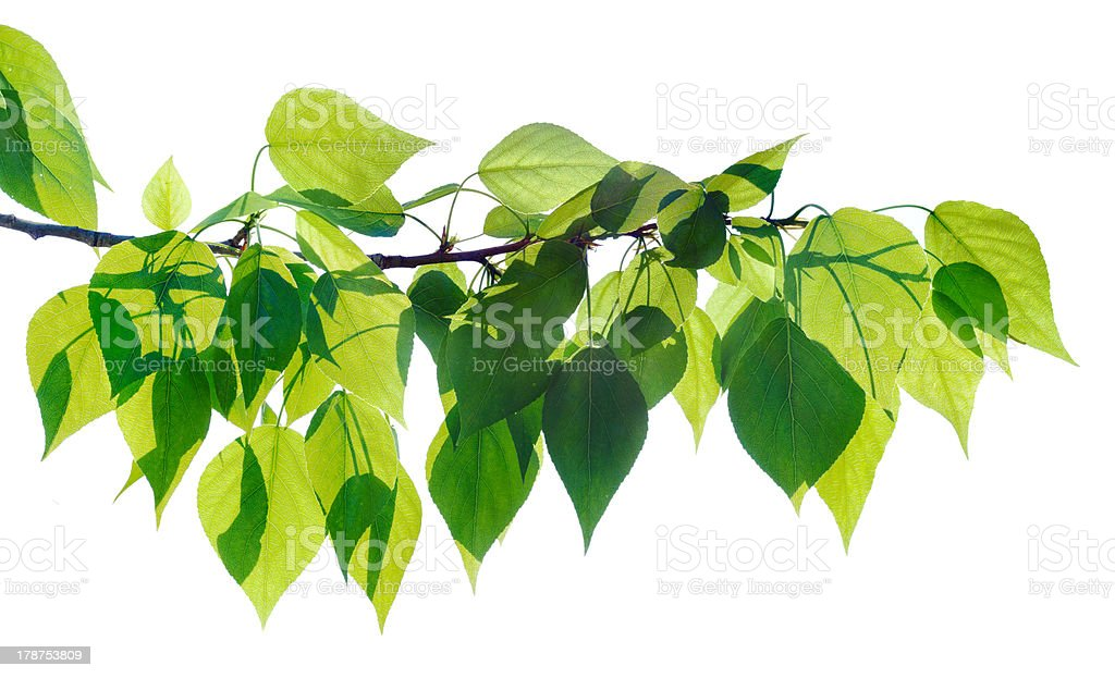 Green poplar twig isolated stock photo