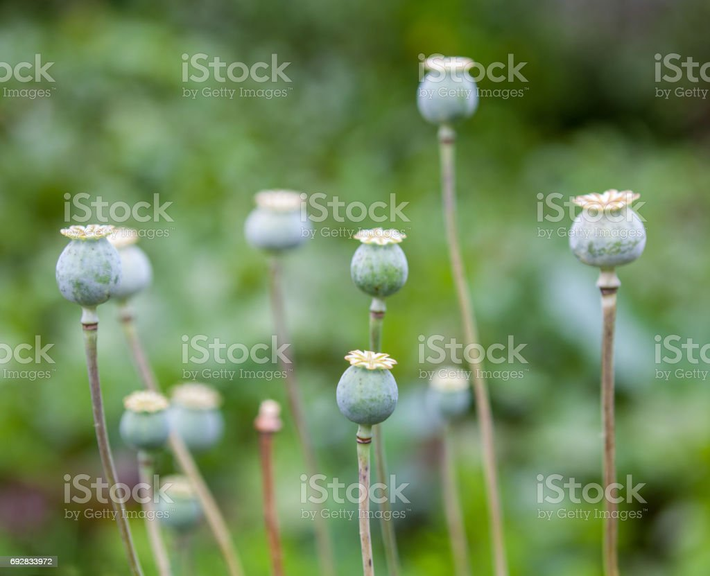 Green Poppy Seed Pods Stock Photo More Pictures Of Addict Istock