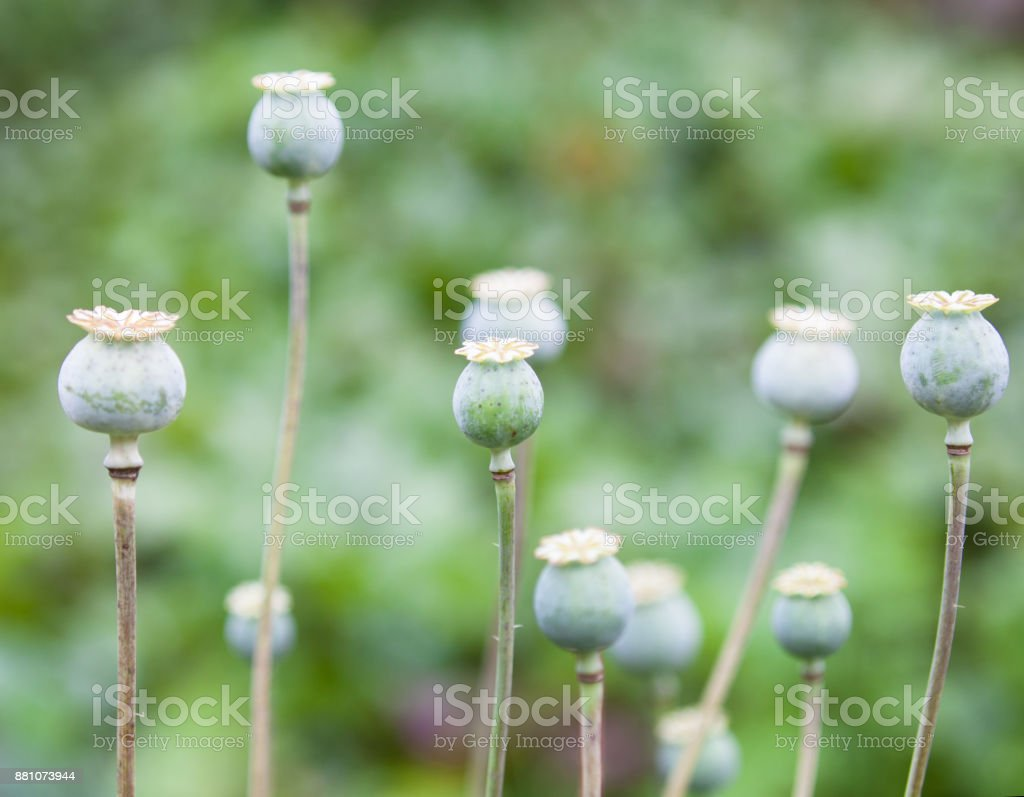 Green Poppy Seed Pods Stock Photo Download Image Now Istock