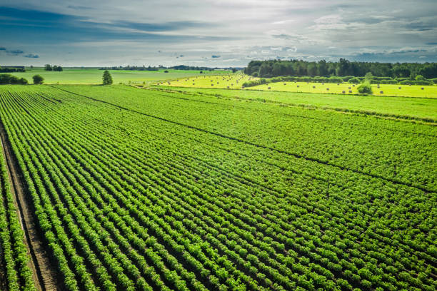 Grüne Kartoffelwiese am Sommertag, Luftbild, Polen – Foto