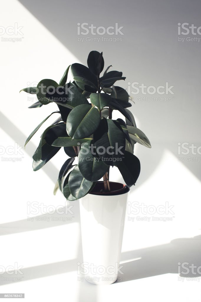 green potted ficus plant stock photo