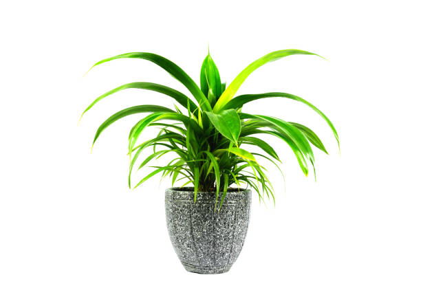 grüne topfpflanze, bäume in der kokosnussschale isoliert auf weißem hintergrund. - blumentopf groß stock-fotos und bilder