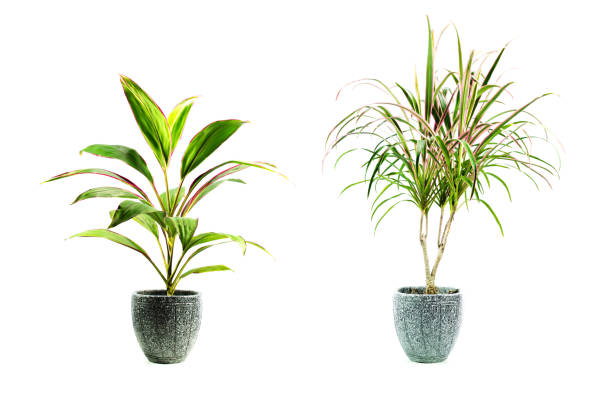 grüne topfpflanze, bäume im topf isoliert auf weißem hintergrund. - blumentopf groß stock-fotos und bilder
