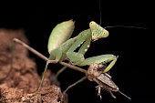 Mantises are an order (Mantodea) of insects that contains over 2,400 species in about 430 genera in 15 families. The largest family is the Mantidae (\