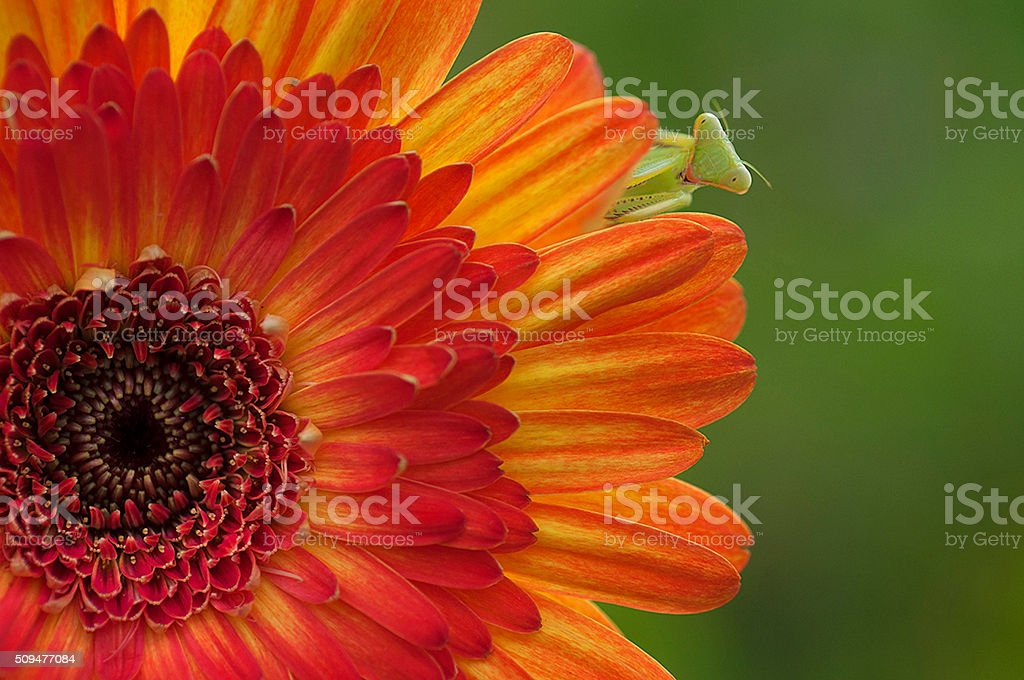 green praying mantis hiding under chrysanthemum flower stock photo