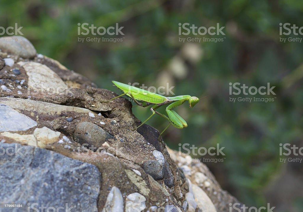 녹색 사마귀 royalty-free 스톡 사진