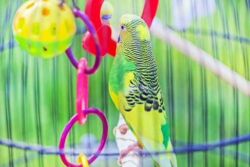 Pretty yellow and green budgie in cage for home happy life