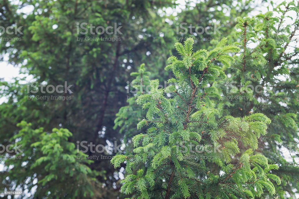 green prickly of spruce branches on the nature  background royalty-free stock photo
