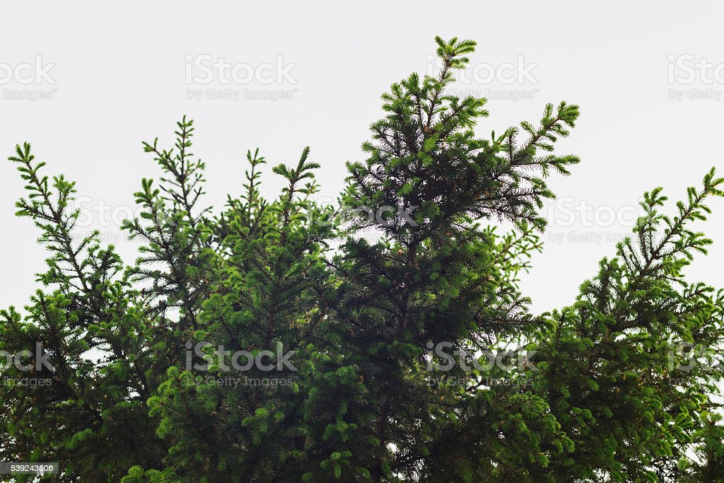 green prickly of spruce branches on the nature  background foto de stock libre de derechos