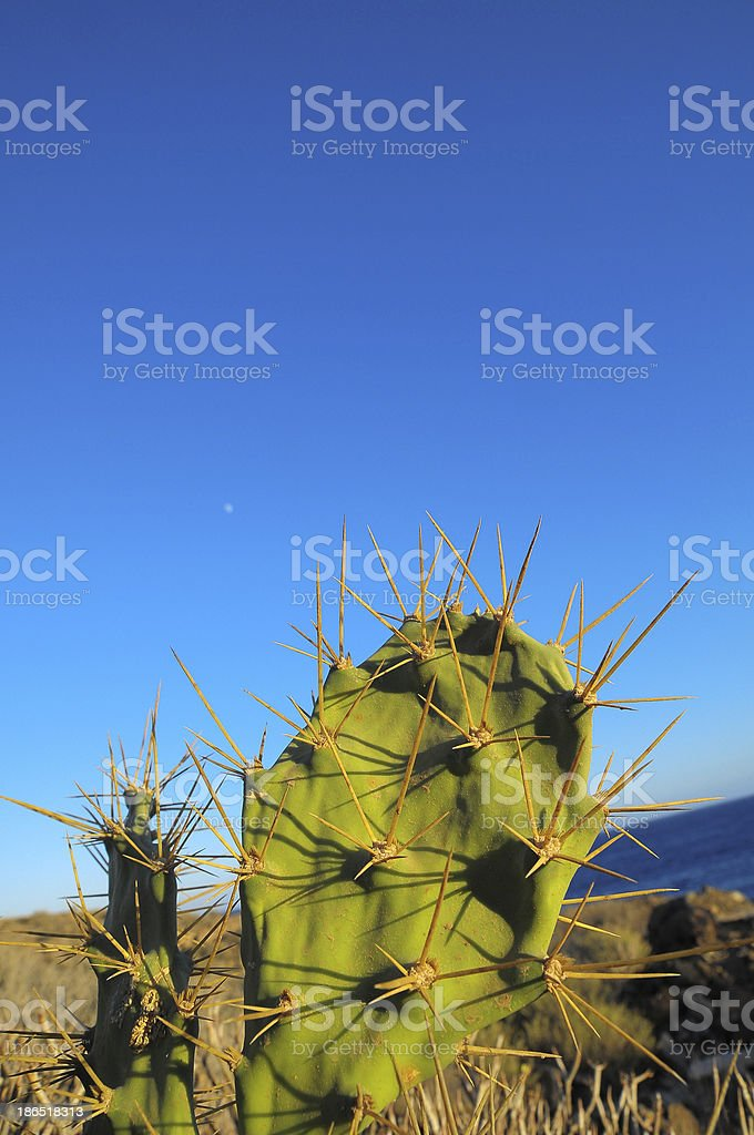 Green Prickly Pear Cactus Leaf royalty-free stock photo