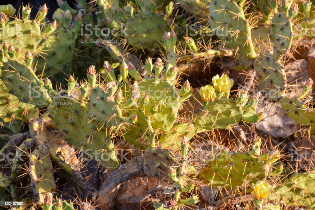 Green Prickly Pear Cactus Leaf stock photo