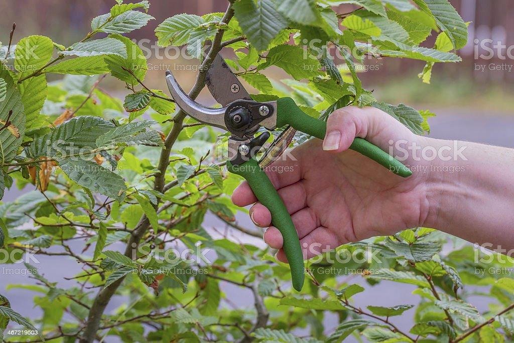 Green Pruner stock photo