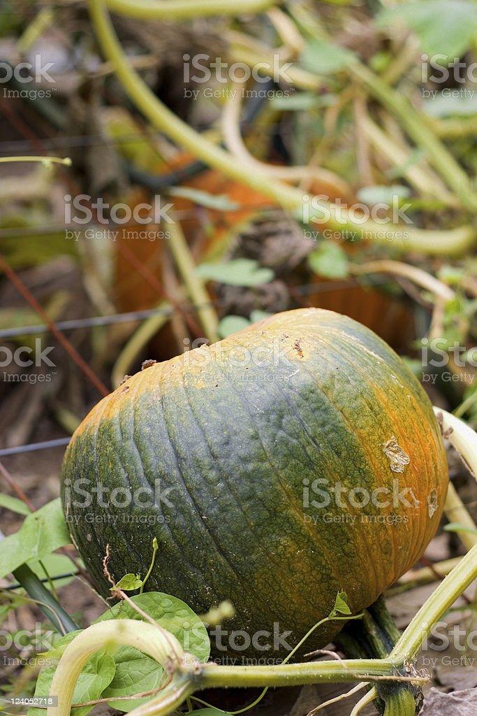 Green Pumpkin on the Vine stock photo