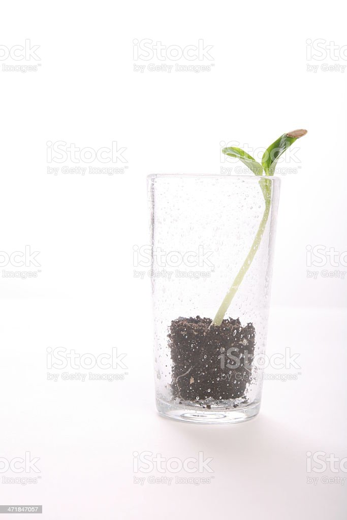 Green pumpkin sprout in the glass on white backgound vertical royalty-free stock photo