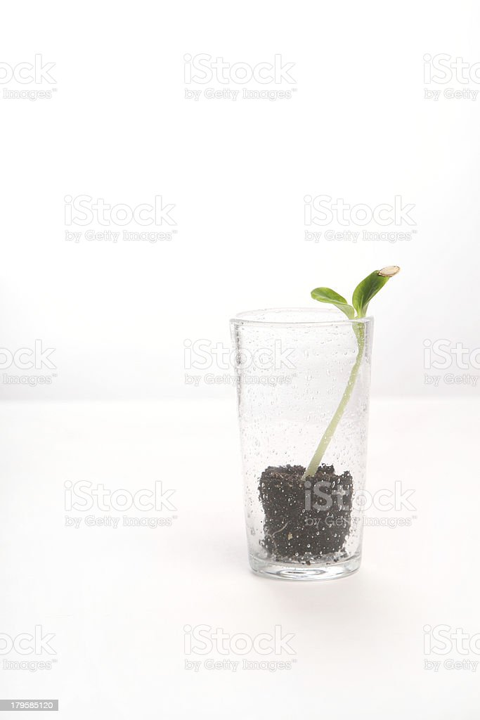 Green pumpkin sprout in the glass on white side view royalty-free stock photo