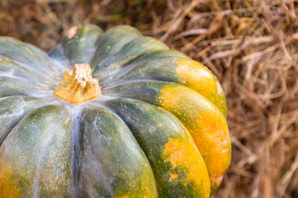green pumpkin with yellow spots closeup lies on hay rustic design - pumpkin pie стоковые фото и изображения