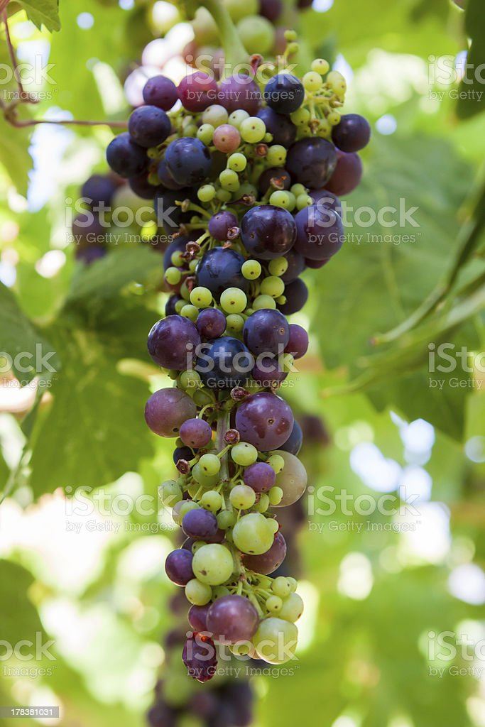 Green Purple Wine Grapes on Vine royalty-free stock photo