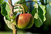 Harvest apples, apple trees in the garden after rain