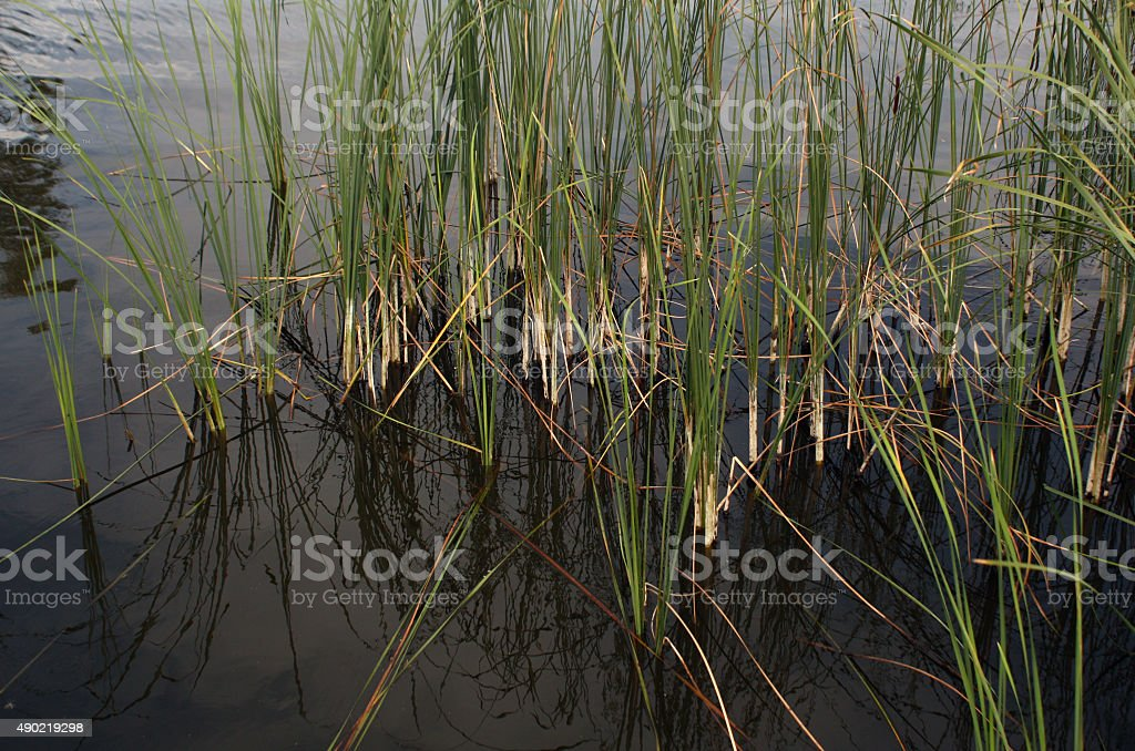 Green reed grass. stock photo