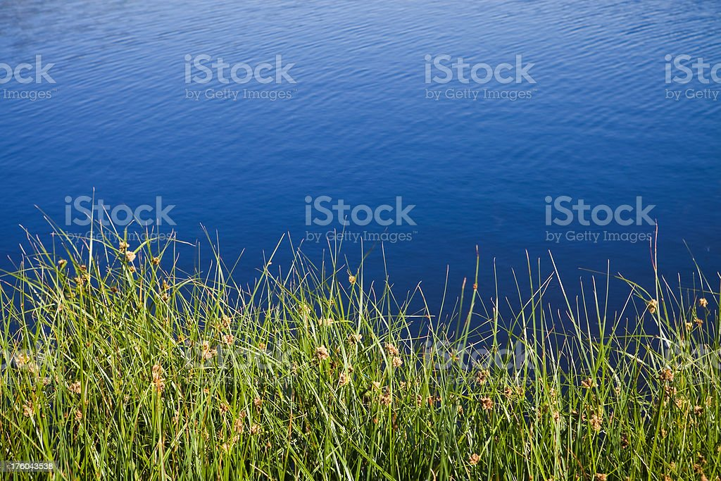 Green Reeds and Blue Water - Nature Background royalty-free stock photo