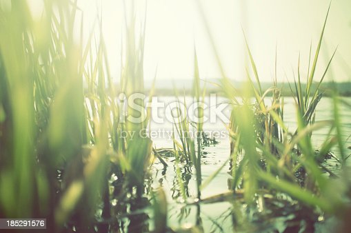 istock Green reeds at the water with sun shining 185291576