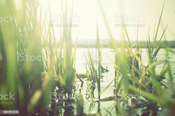 Reeds at the water