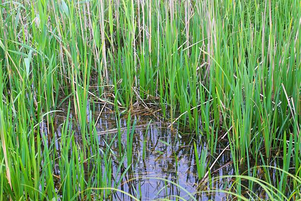 Green reeds in marsh Green reeds in the marsh shallow stock pictures, royalty-free photos & images