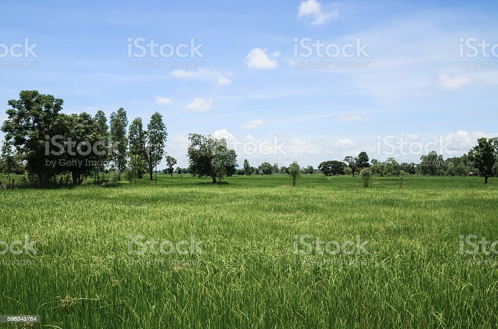 green rice field and beautyful nature Lizenzfreies stock-foto