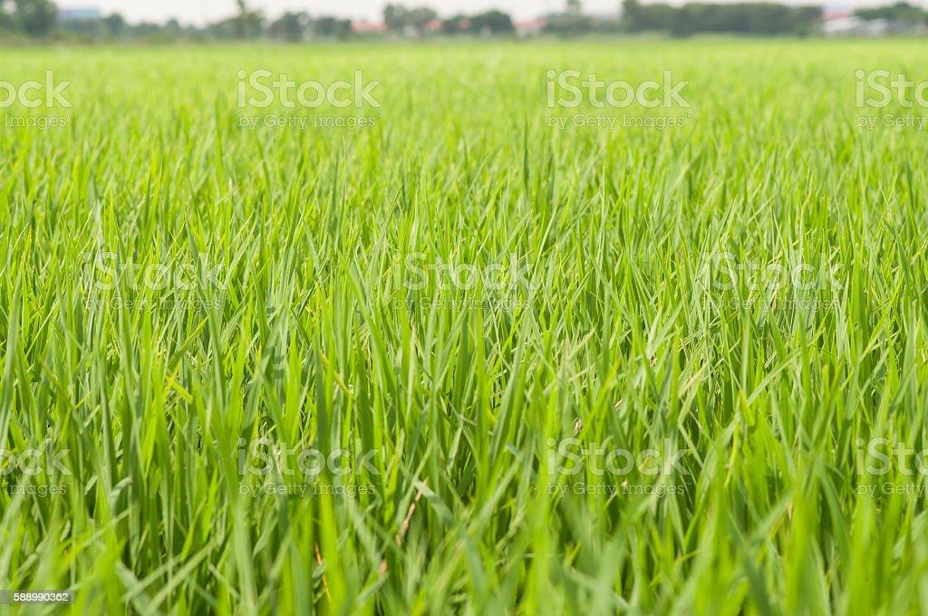 green rice field at sunrise. stock photo