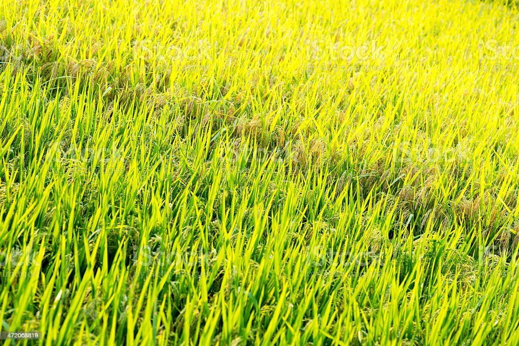 Green Rice Field Background stock photo