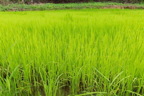 Green rice field for food and agriculture design. - foto stock