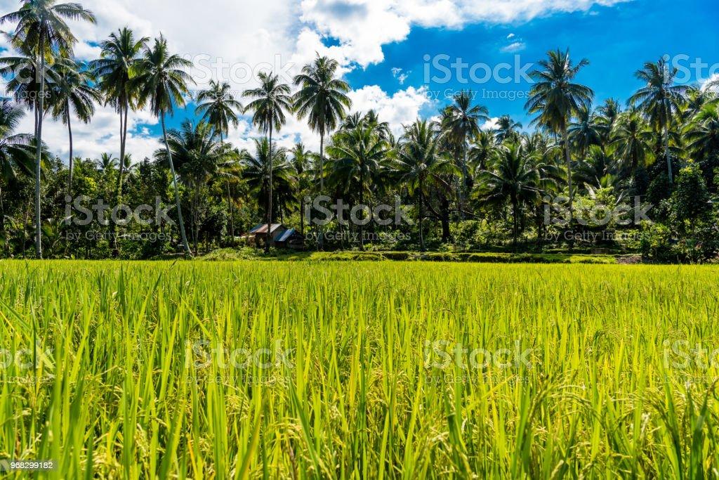 green rice field in Mindoro, Philippines stock photo