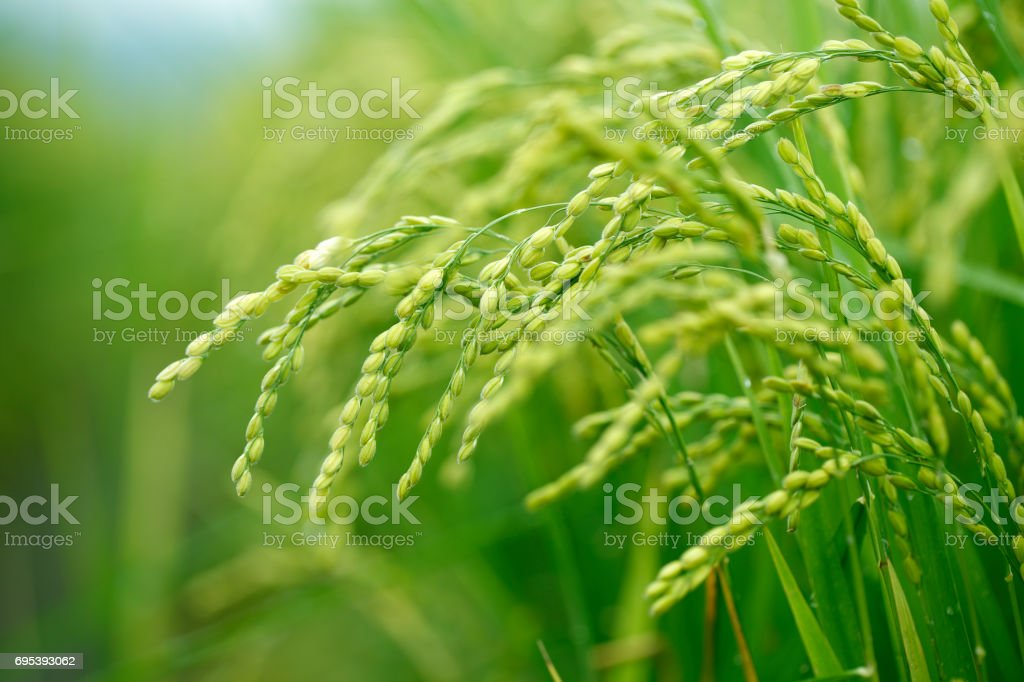 Green rice field in Taiwan Close up fresh young rice with green leaves background in the morning Agricultural Field Stock Photo