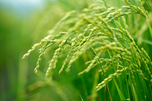 Green Rice Field In Taiwan Stock Photo - Download Image Now