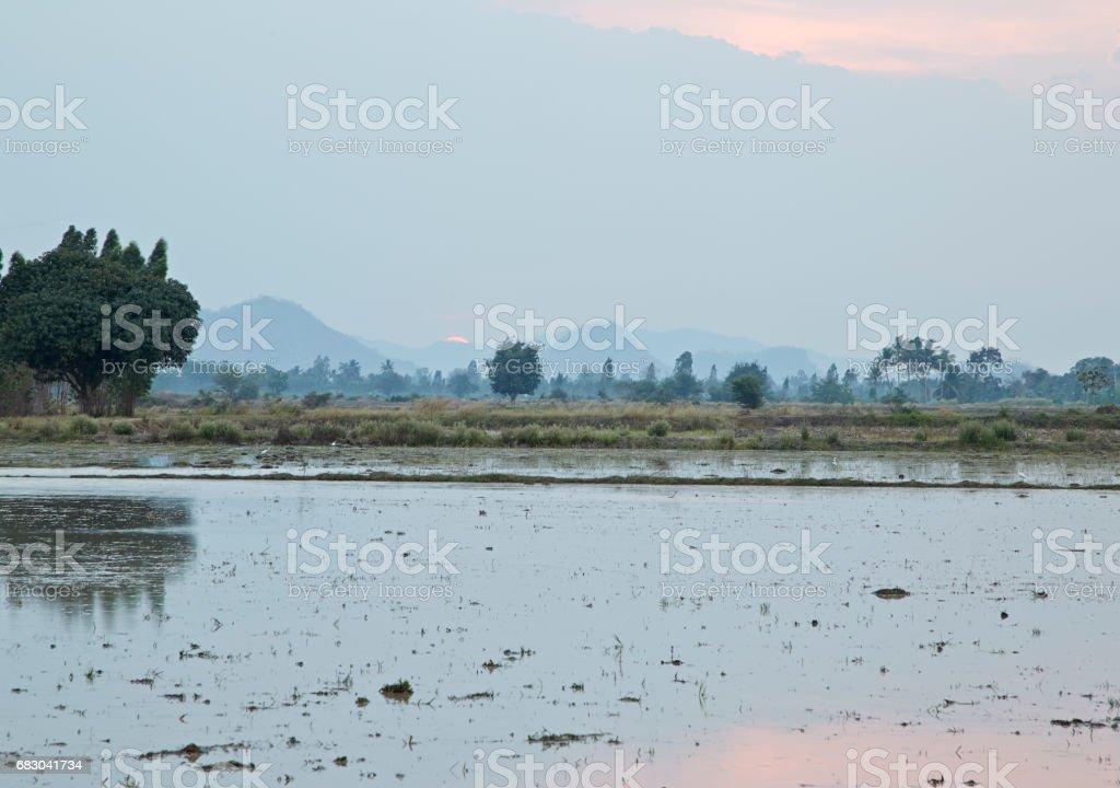 Green rice field foto de stock royalty-free