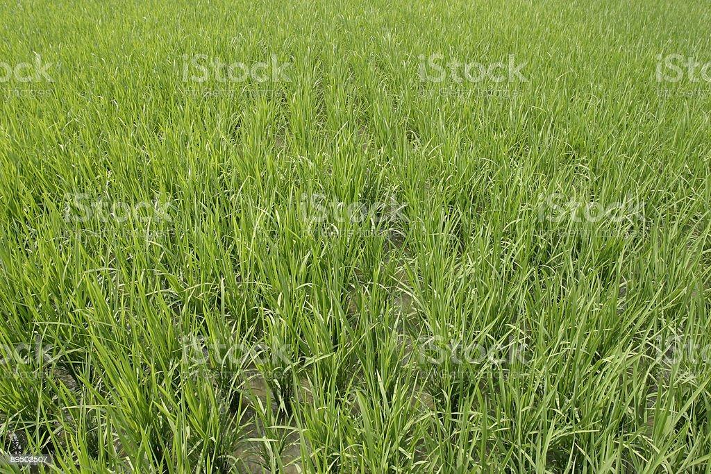 Vert Champ de riz photo libre de droits