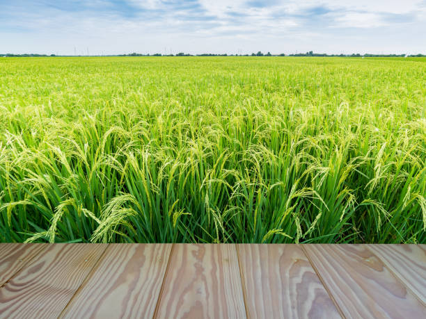 Green rice field with wooden floor foreground and blue sky background. Green rice field with wooden floor foreground and blue sky background. rice paddy stock pictures, royalty-free photos & images