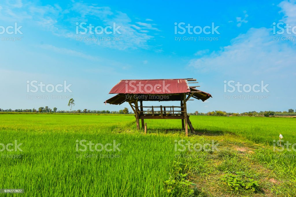 Green rice fields and rice paddies in irrigated and rural areas of Thailand. Southeast Asia stock photo