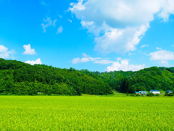 green rice fields in japan - satoyama scenery stock photos and pictures