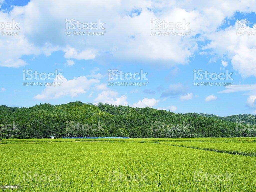 Verde arroz campos en Japón - foto de stock