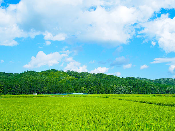 Green rice fields in Japan Green rice fields in Japan at summer. satoyama scenery stock pictures, royalty-free photos & images