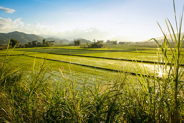 green rice fields northern luzon the philippines - baguio city stock photos and pictures