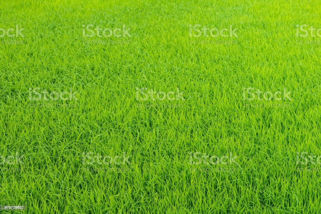 grüne Reisfelder Textur Hintergrund, Land Thailand - Lizenzfrei Abstrakt Stock-Foto